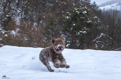 Overjoyed Tobia ❄ (Xena*best friend*) Tags: tobia dogsplayinginthesnow dogsinaction dogsinthesnow dogsinthewhitestuff dogshavingfun dogsrunninginthesnow dogsjumpinginthesnow flyingdogs flyinglagotto lagottoromagnolo lagotto retrieverdog retrievertrufflesdog snifferdog trufflesniffer piedmontitaly piemonte waterdog waterretrievingdogs greatcompanionforchildren excellentsenseofsmell clever affecionate intelligent acquaticdog attentive trufflehunter theonlybreedofdogthatisofficiallyrecognizedasspecializedintrufflehunting hypoallergeniccoats pedigree animals pets dogs canoneos760d digitalrebelt6s efs18135mmf3556isstm pet flickr winter snow winterwonderland ilovewinter ilovesnow cold