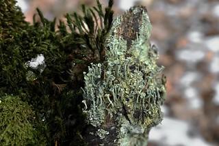 Trompetenförmige Podetien einer Becherflechte (Cladonia sp.); Bergenhusen, Stapelholm (2)