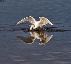 BAM!!! (Darts5) Tags: snowyegret egret egrets ef100400mmlll bird birds wadingbird wading canon7d2 canon7dmarkll canon7dmarkii canon canonef100400mmlii 7d2 7dmarkll 7dmarkii 7d2canon