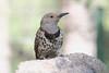 Northern Flicker -- Juvenile Female (Colaptes chrysoides);  Santa Fe National Forest, NM, Thompson Ridge [Lou Feltz] (deserttoad) Tags: wildlife nature newmexico mountain desert bird wildbird woodpecker flicker nationalforest tree
