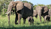 A Family Walk (AnyMotion) Tags: africanelephant afrikanischerelefant loxodontaafricana elephants elefanten babies 2018 anymotion tarangirenationalpark tanzania tansania africa afrika travel reisen animal animals tiere nature natur wildlife 7d2 canoneos7dmarkii ngc npc