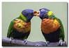 Kissy Face... (Roger Photos) Tags: nef birds parrots pittsburgh national aviary