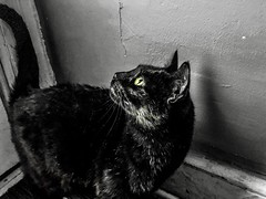 """We are addicted to our thoughts. We cannot change anything if we cannot change our thinking."" ―Santosh Kalwar 🐈 (anokarina) Tags: appleiphone8 woodridge adobephotoshopexpress psmobile colorsplash bw blackwhite noir grey grayscale yellow golden eyes kitty kitten blackcat"