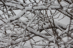 Snow Branched (vickieklinkhammer) Tags: snow tree branch winter nature outdoor outdoors sitting blackandwhite top birch perched flora plant freezing small twig forest monochromephotography land frost covered cold monochrome white vegetation blizzard large rainandsnowmixed standing wild blossom green season field sky group landscape march outside fog foggy naturephotographer naturephotography photographer photography image photoimage branches entangled