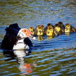 Muscovy Ducklings thumbnail