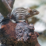 Cute striped mouse thumbnail