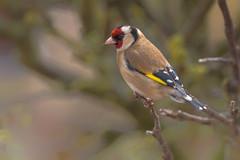 Golden (Martyn William's Birds) Tags: goldfinch goldie golden britishbirds nikond810 nikonvrafs300mmf28gediflens nikonafstc14eiiteleconverter