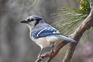 Bluejay amongst Pines