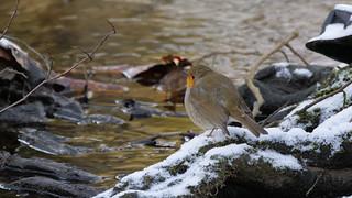 Rotkehlchen (Erithacus rubecula) am winterlichen Teich