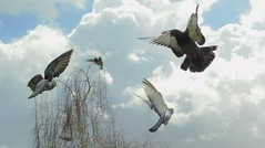 (cami.carvalho) Tags: pigeon pombo fly voo sky céu tempestade forest