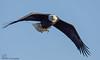 Bald Eagle with fish. (Estrada77) Tags: baldeagle nikond500200500mm ld14 mississippiriver raptors birdsofprey distinguishedraptors inflight wildlife winter jan2018 outdoors birds birding