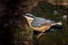 Nuthatch ( Sitta europaea) (neil 36) Tags: nuthatch sitta europaea close up wonderful light bird melting snow gnarled log