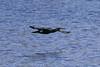 Cormorant (Dougie Edmond) Tags: bird beach water birds nature wildlife springtime spring canon scotland unitedkingdom gb