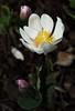 Bloodroot_05_03-19-2018 (McConnell Springs) Tags: mcconnellspringspark lexingtonky lexingtonparksrecreation flower bloodroot wildflower whiteflower