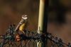 PGH59023 (klangcharakter) Tags: natur nature blaumeise vogel zaun meise sonnenuntergang wildsachsen hofheim taunus hessen wald panasonic gh5 mft lumix leica 100400mm f4063 iso3200 11300sek f71