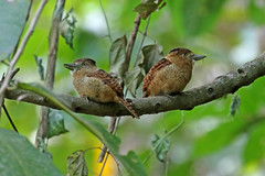 Barred Puffbird - Nystalus radiatus (Roger Wasley) Tags: barredpuffbird nystalusradiatus wild bird panama centralamerica neotropics neotropical