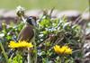 Je t'aime, un peu, beaucoup.... (Régis B 31) Tags: cardueliscarduelis chardonneretélégant europeangoldfinch fringillidés passériformes bird oiseau calmont midipyrénées jardin occitanie