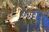 Nilgänse Mit Jungen (ivlys) Tags: darmstadt kleinerwoog nilgans egyptiangoose küken goslings vogel bird tier animal teich pond eis ice natur nature sonnenschein sunshine ivlys