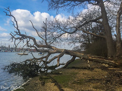 A Fallen Tree Fareham Creek (Meon Valley Photos.) Tags: a fallen tree fareham creek ngc water sky cloud boats