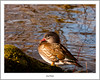Mandarin Duck, Balloch (flatfoot471) Tags: 2017 balloch bird duck mandarin march nature normal riverleven rural scotland spring unitedkingdom westdunbartonshire gbr