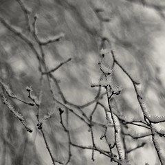 Frost (Stefano Rugolo) Tags: stefanorugolo pentax k5 smcpentaxm50mmf17 pentaxk5 ricohimaging squareformat monochrome frost art bokeh branches hälsingland sweden sverige blackandwhite