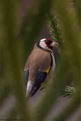 Between the leaves (Francesca D'Agostino) Tags: cardellino goldfinch foglie leaves natura nature colori colors