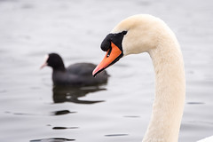 Schwan und Blässhuhn am Dechsendorfer Weiher (Peter Goll thx for +7.000.000 views) Tags: 2018 dechsendorf natur winter erlangen germany schwan swan pond lake weiher nikon nikkor d750