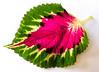 Coleus (Durley Beachbum) Tags: 118 pictures 201897 leaf coleus