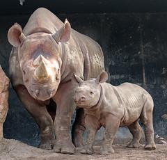 black rhino Naima and Mara Blijdorp BB2A0392 (j.a.kok) Tags: rhino rhinoceros blackrhinoceros zwarteneushoorn neushoorn puntlipneushoorn animal blijdorp mammal zoogdier dier herbivore africa afrika naima mara