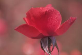 rose addict