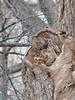 Eastern Grey Squirrel 1 (D. S. Hałas) Tags: halas hałas canada ontario haltonregion haltoncounty oakville nipegontrail chordata sarcopterygii mammalia rodentia sciuridae sciuruscarolinensis easterngreysquirrel easterngraysquirrel squirrel