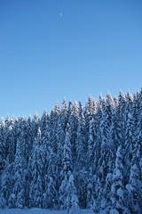 The moon and the trees (Bullpics) Tags: beautifullight oslo ski langrenn marka shadow sunlight d7100 nikon snow pine forest tree sky bluesky moon bullpics skiforeningen norway nordmarka cold winter wood