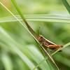 Get ready to jump (lensflare82) Tags: natur nature makro macro grasshopper grashüpfer frühling spring outdoor insekt insect detail eos 700d shutterbug canon