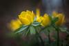 Winterling (hploeckl) Tags: spring switzerland botanicalgarden life nature meyergoerlitz meyeroptik moody bokeh
