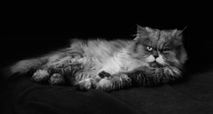 _DSC6326 (mouniflaurent) Tags: black cat cute dark nature white wildlife eyes hairy fur chat