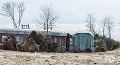 wildlands-emmen-20 (voorhammr) Tags: 2018 juul robin apen emmen giraffen ijsberen neushoorn nijlpaard pinquins prairiehonden vlinders wildlands zeeleeuwen zoo drenthe nederland nl