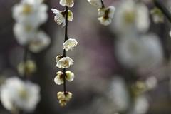 ume (stagnant river) Tags: kyoto jonangu plum umeblossom