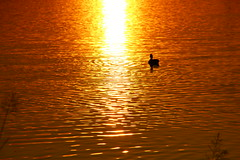 Ducks on Golden Pond (Eddie Crutchley) Tags: europe england cheshire outdoor nature beauty colour lake duck simplysuperb sunlight reflections sunset