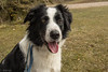 Dodge on Holiday (sharongellyroo) Tags: bordercollie seaside cuckmerehaven sussex holidays dodge rescue