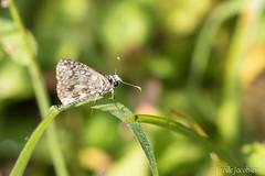 Common Checkered-Skipper (Pyrgus communis) (Frode Jacobsen) Tags: commoncheckeredskipper pyrguscommunis butterfly lepidoptera florida frodejacobsen canoneos7dmarkii canonef30040lisusm