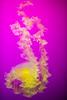 Soft Spot (Thomas Hawk) Tags: america chicago cnidaria cookcounty illinois johngsheddaquarium museumcampuschicago sheddaquarium usa unitedstates unitedstatesofamerica aquarium jellies jellyfish purple fav10