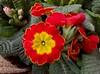 Primule (Creative-Pixel) Tags: primule fiori smartphonephotography natura giardino flower flowers petali