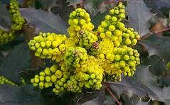 Mahonia sp. (Linda DV (away)) Tags: lindadevolder samsung phone note4 belgium brussels 2018 ribbet mahonia berberidaceae ranunculales