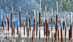 nature's language ῼ 7 (DeZ - photolores) Tags: cattails frost winter snow guelphcanada trees hdr dez