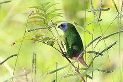 Blue-faced Parrot-finch (Erythrura trichroa) (Heleioporus) Tags: bluefaced parrotfinch erythrura trichroa carbine tableland queensland