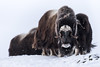 Watch Out (LeLoupArctique) Tags: north norge norway norvège snow snowblind ice tundra mountains nationalpark dovrefjell ski snohetta musk muskox muskoxen bulls horns iceage prehistoric animal animals animalphotography nationalgeographic nature wild wilderness wildlife