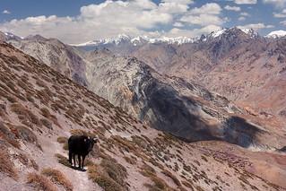 Close encounter on the way down to Zanskar Valley