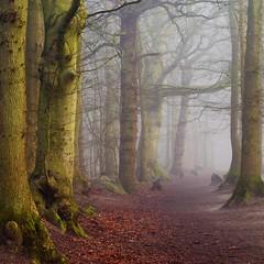 Magical forest (peeteninge) Tags: mist fog forest trees nature bos bomen natuur magical fairylike fujifilmxt2 fujifilm xf80mmf28