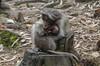 Comfort (sakthi vinodhini) Tags: monkey mother love comfort kodaikannal india tamil nadu animals wildlife