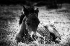 A Dartmoor foal fast asleep,,,,,,, (AM5555) Tags: pretty outside countryside wild natur nature naturephotography outdoors rural serene scenic nikkor day light blackandwhite bn bnw lens horse foal equine dartmoornationalpark devon contrast detail